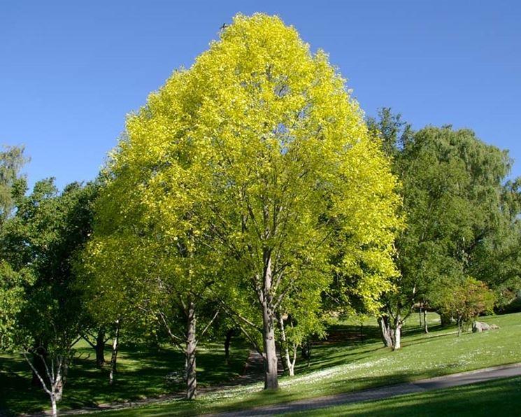 Liriodendro liriodendron tulipifera alberi - Alberi da giardino di piccole dimensioni ...