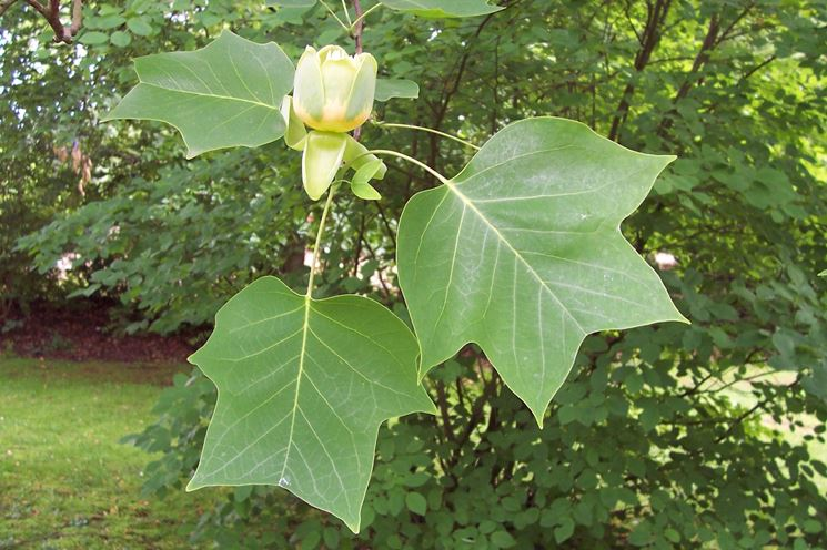 Liriodendron fiore