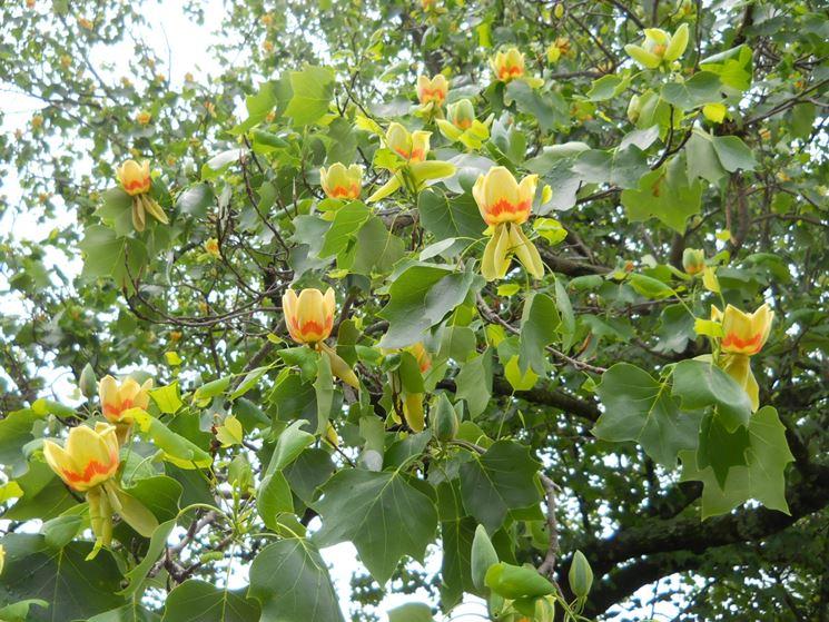 liriodendron fiori