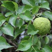 Maclura foglie e frutti