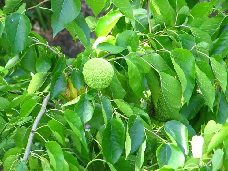 arancia degli osagi