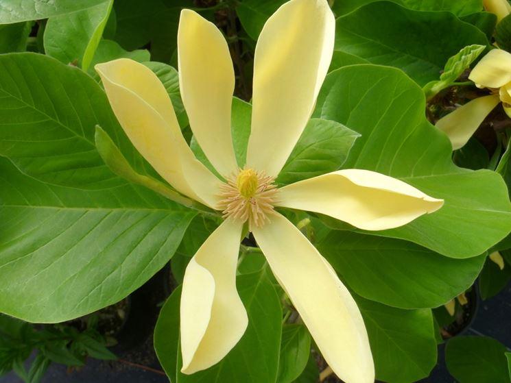 magnolia acuminata frutto