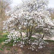 Pianta magnolia stellata