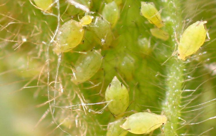 Afidi verdi infestazione pianta ornamentale
