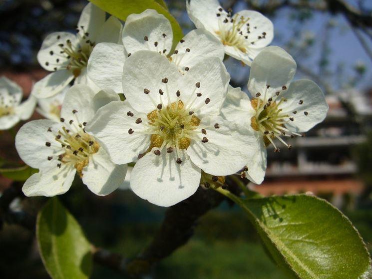 Melo fiori