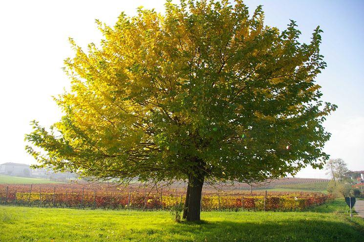 Gelso albero delle more morus alba morus alba - Foto di alberi da giardino ...