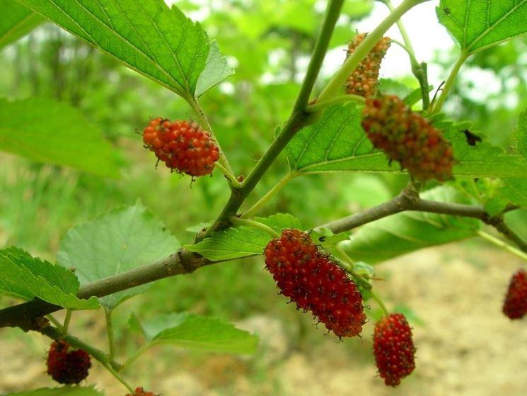 frutti gelso