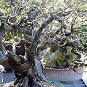 pianta di nocciolo