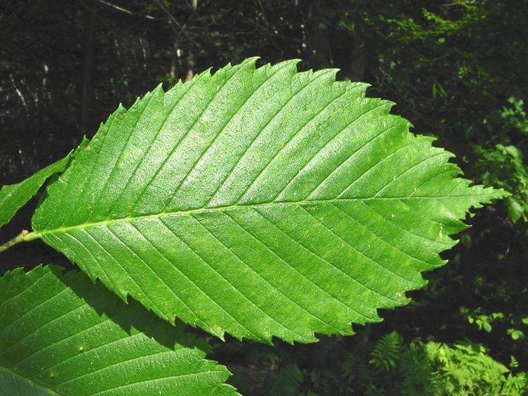 foglie Olmo