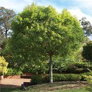 l albero detto anche frassino