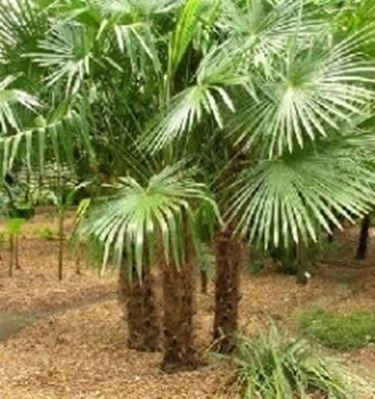 Palma di fortune alberi - Palme nane da giardino ...
