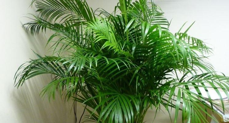 Palma alberi coltivare palma malattie palma - Costo palma da giardino ...