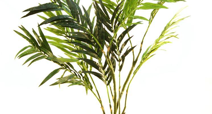 Palma - Alberi - coltivare palma - malattie palma