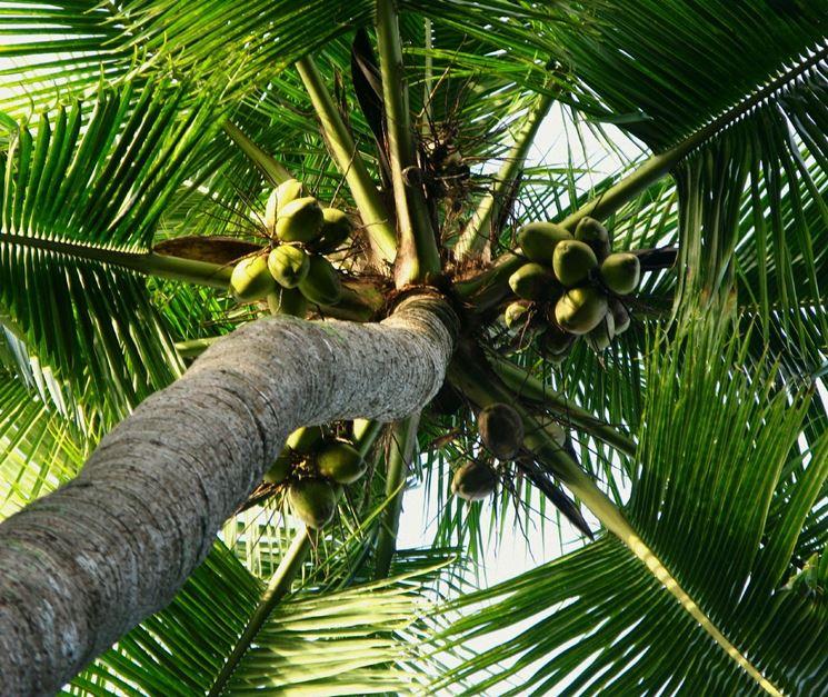 Varietà palma