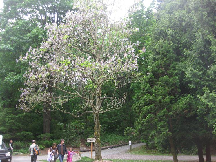 Paulonia fiore