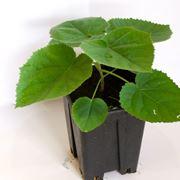 paulonia pianta