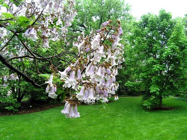 fiore di paulonia