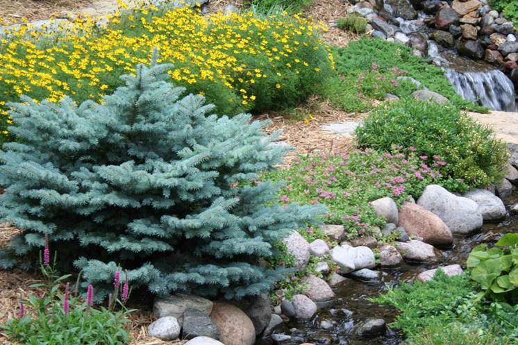 Aghi pino argentato