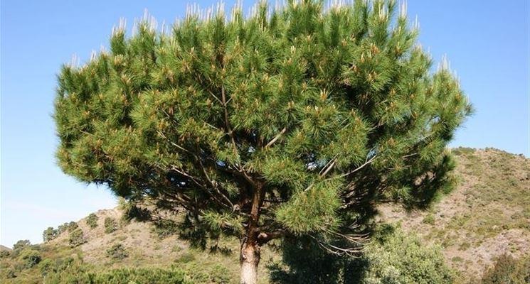 Pino da pinoli pino domestico pinus pinea pinus pinea for Alberi a crescita veloce