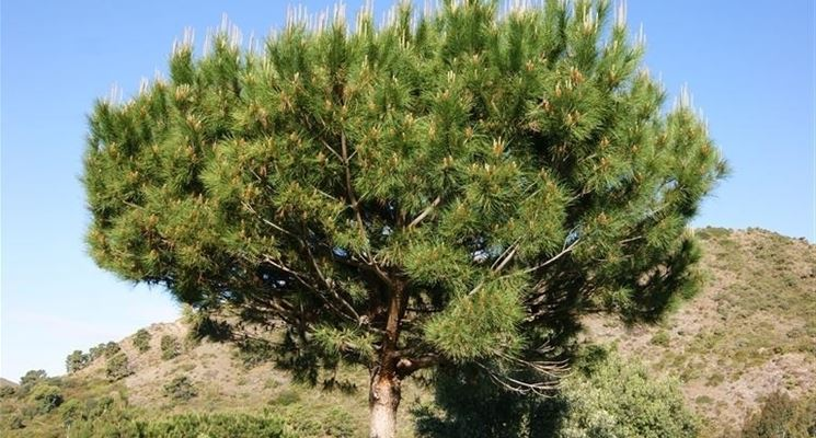 Potatura pinus pinea