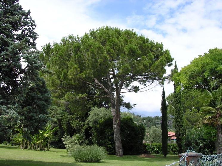 Caratteristiche pinus pinea