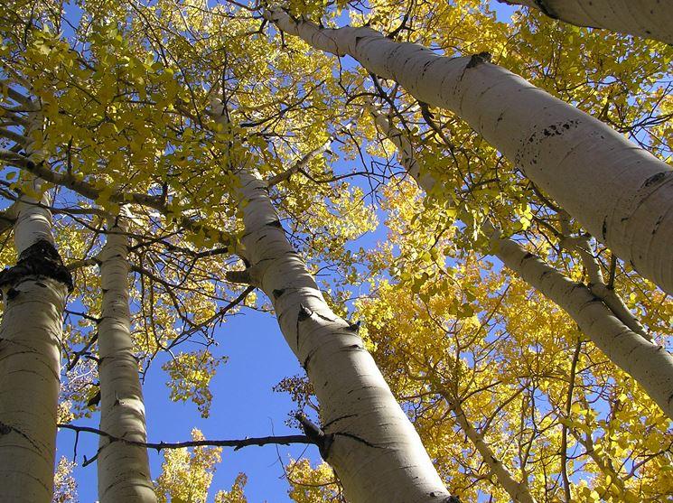 pioppo in autunno