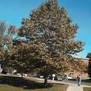 alberi simili ai platani