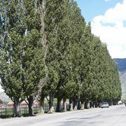 Pioppo nero alberi