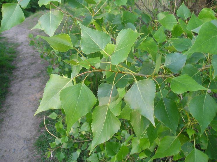 fogliame populus nigra