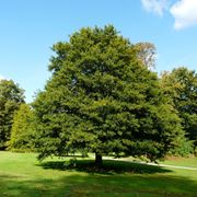 quercia sempreverde