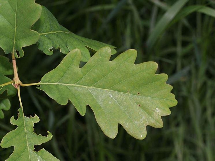 Quercia alberi pianta di quercia for Quercia sempreverde