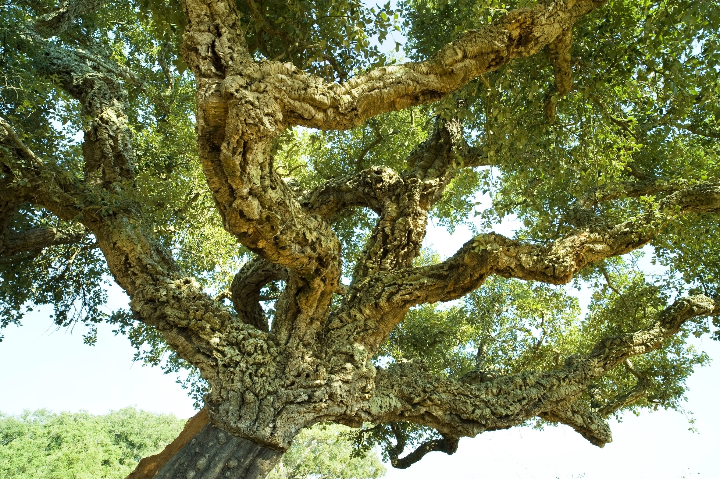 Quercia alberi - Albero da giardino ...