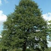 cerro albero