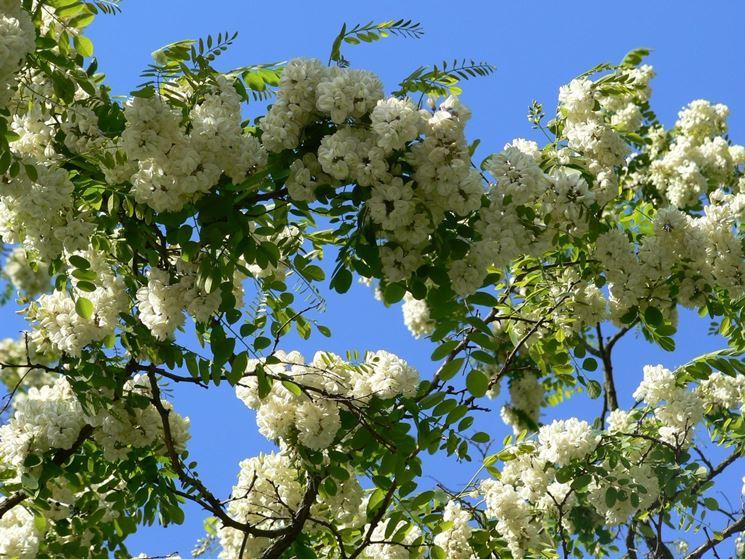 Robinia acacia robinia pseudoacacia robinia for Acacia albero