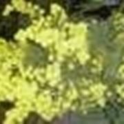 albero di acacia