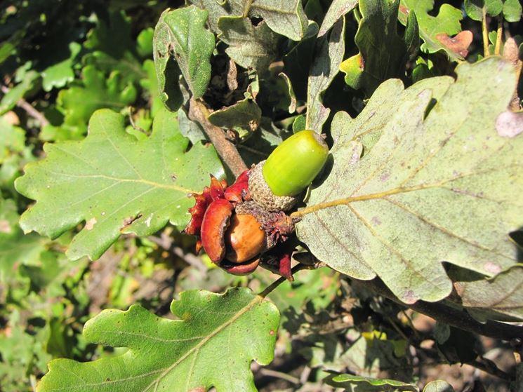 Rovere alberi coltivare il rovere for Alberi simili alle querce
