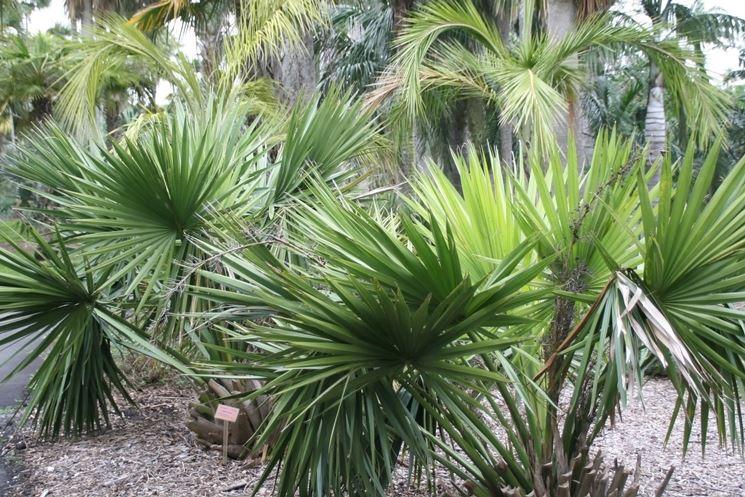sabal minor pianta