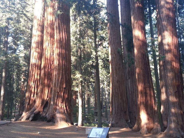 tronchi di sequoie giganti