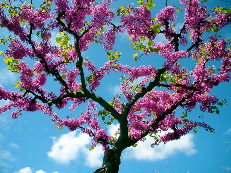 Siliquastro albero giuda