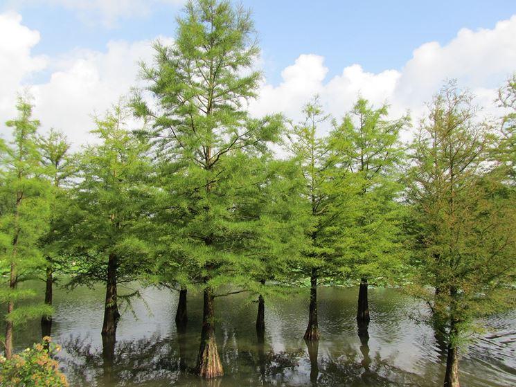 Taxodium albero