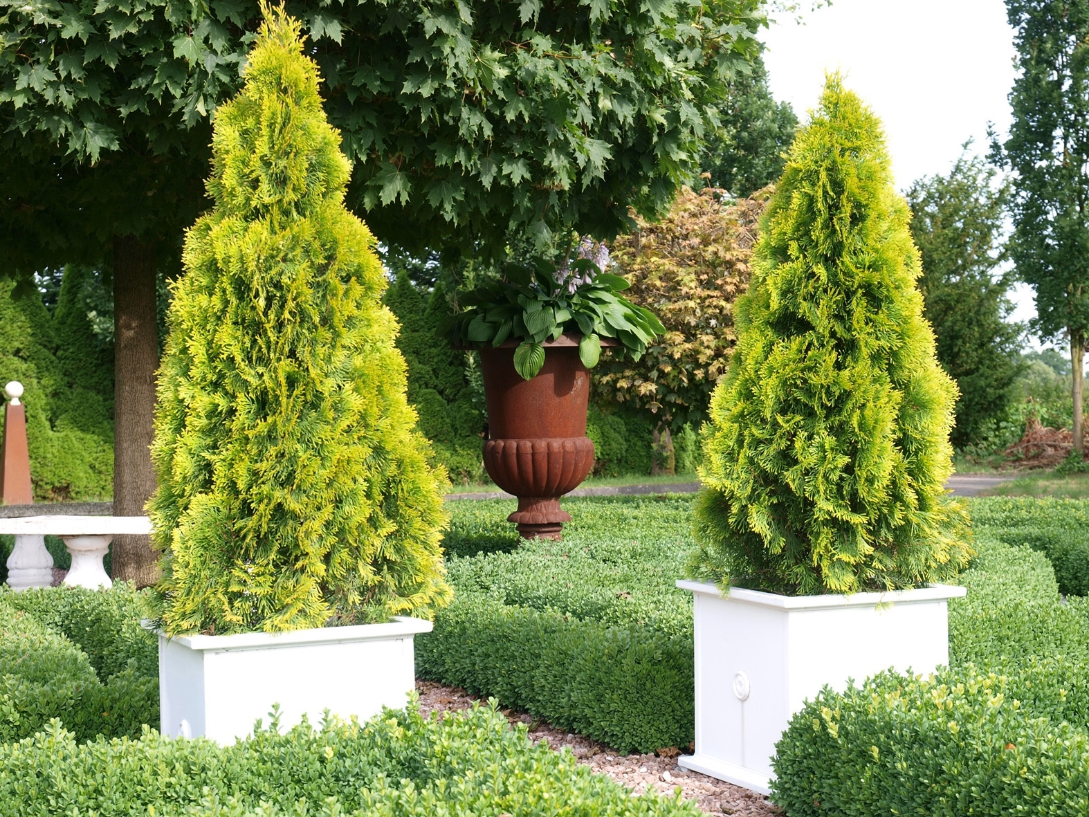 Prezzi Alberi Da Giardino tuia - thuja occidentalis - alberi - tuia - thuja