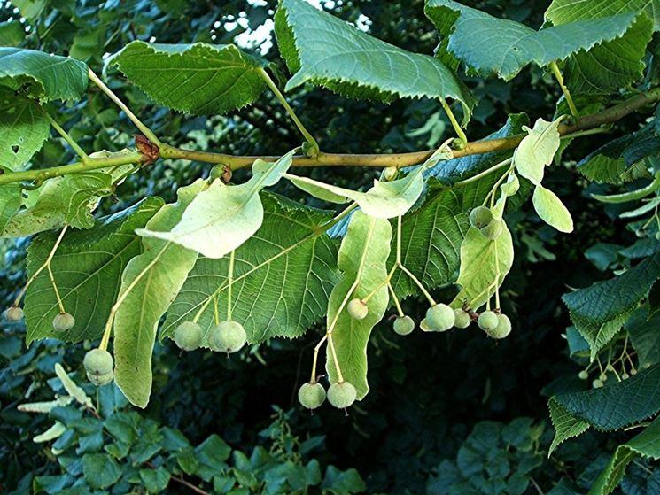 Tiglio tilia tilia alberi tiglio tilia alberi for Tiglio albero