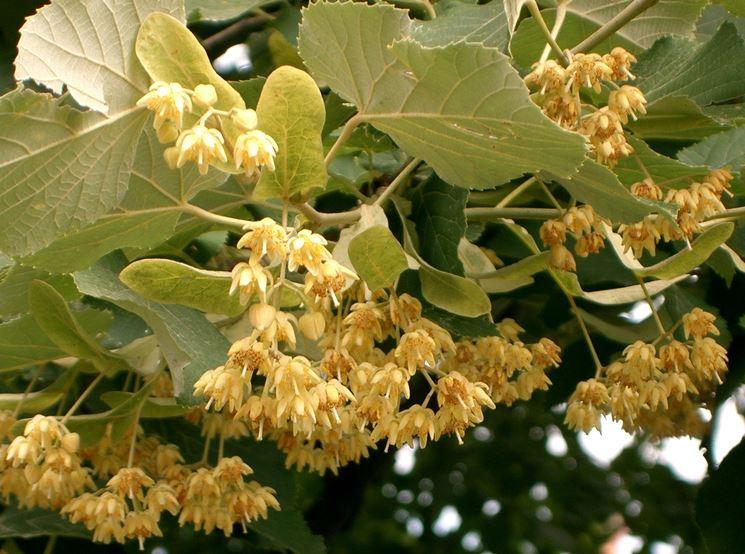 fiori di tilia cordata