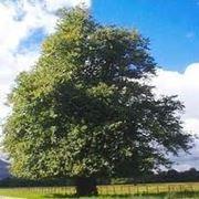 tiglio albero prezzo