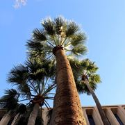 Palma - fronda
