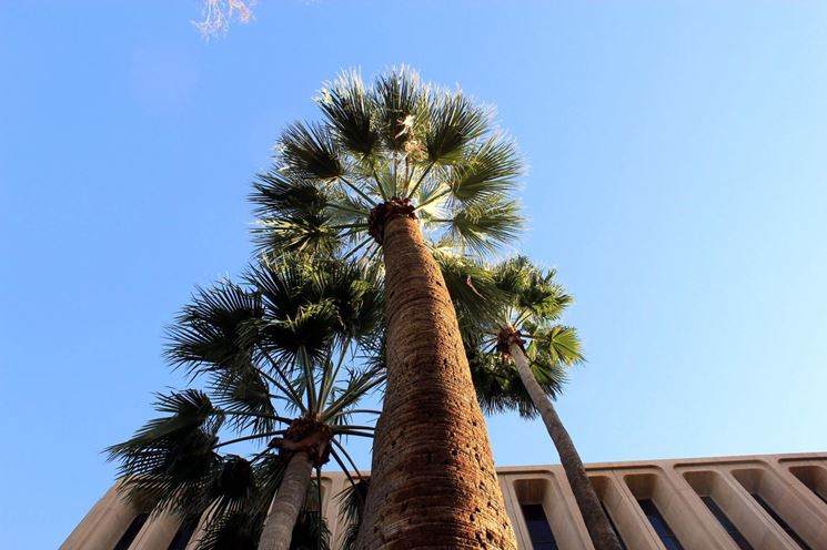Palma della california washingtonia filifera for Case mediterranee della california