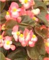 "Begonia semperflorens"""