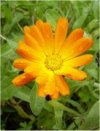 Calendula officinalis""
