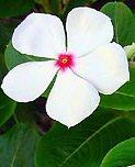 """Catharanthus roseus"""""""