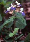 """Collinsia grandiflora"""""""